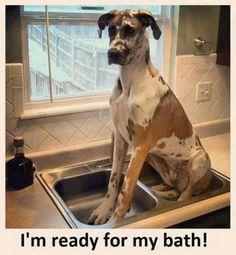 Great Dane ready for bath