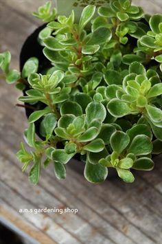 セダム マキノイ バリエガータ - 多肉植物やガーデニング用品・アンティークの通販サイト | A.N.S