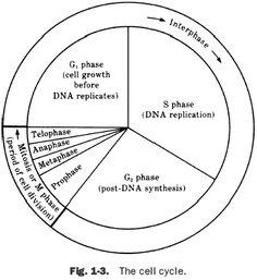 Cell Cycle Coloring Worksheet Answer Key   Cell cycle ...