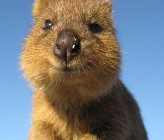 #Quokka , l'animale più felice al mondo