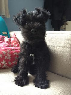 Milo the Miniature Schnauzer- follow his blog as he grows from puppy to adolescent.