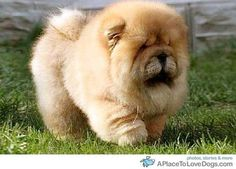 Chow Chows.They make me melt. If anyone tells you this breed is mean, it's because they don't understand the breed!