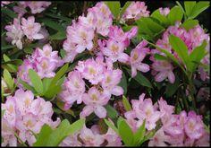 Plant Finder - HinsdaleNurseries.com