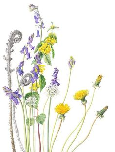 Realistic Drawings Dandelions and other flowers Botany Illustration, Floral Illustrations, Botanical Flowers, Botanical Prints, Watercolor Flowers, Watercolor Art, Decoupage Art, Botanical Drawings, Realistic Drawings