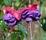 Flower World, Inc. Fuchsias