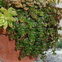Sedum tetractinum - Succulents - Avant Gardens Nursery & Design
