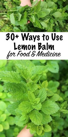 30+ Ways to Use Lemon Balm ~ Lemon balm is a lovely addition to any herb garden, and it produces huge crops of fragrant leaves in the summer months. Lemon balm recipes range from sweet to savory, and lemon balm drinks are especially enticing. Beyond that, the medicinal benefits of lemon balm are pretty impressive. Here are a few ways to use lemon balm in recipes and for medicine. #herbgarden #herbs #herbalist