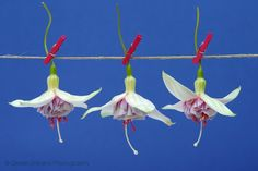 Fuchsia aan de waslijn
