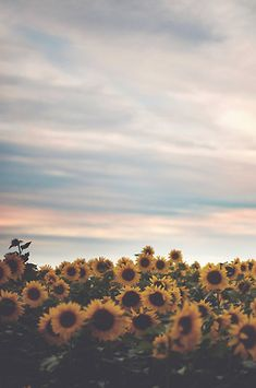 Where can I find fields of sunflowers? I like the sky colors. Lovely photo