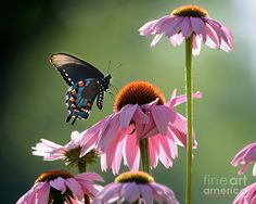 Online Contest - Prettiest Butterfly Photograph - Fine Art America