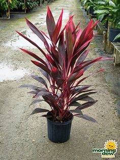 Cordyline Red Sister / Ti Plant