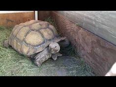 Outdoor DIY Sulcata Tortoise Housing In Cooler Climates Tortoise Vivarium, Tortoise Cage, Tortoise House, Tortoise Food, Tortoise Habitat, Turtle Habitat, Sulcata Tortoise, Tortoise Enclosure, Russian Tortoise