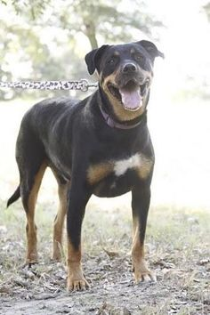 Meet Repo, a Petfinder adoptable Rottweiler Dog | Dallas, TX | My name is Repo.  I'm a good dog who loves everyone.  I get along well with other dogs and am good...