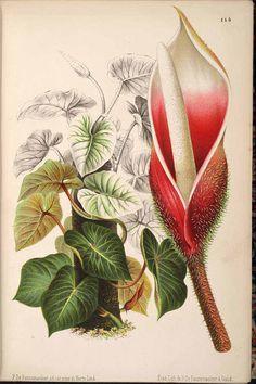 Philodendron verrucosum - circa 1871