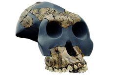 Australopithecus garhi - Fotostrecke: Der erste Mensch 16 - NATIONAL GEOGRAPHIC