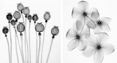 Steven N. Meyers, a medical X-ray technologist, uses radiography techniques to botanic specimens, capturing the elegant portraits of plants and their insides that would otherwise go unseen.