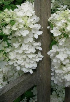 A very very pretty Hydrangea. Every garden should have some. Deco Floral, Arte Floral, Moon Garden, Dream Garden, White Flowers, Beautiful Flowers, White Hydrangeas, Smooth Hydrangea, Colorful Roses