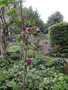 Dit is ěěn van de mooiste heesters(boompje) die ik ken. Sinocalycanthus raulstonii 'hartlage wine'. Bloeit  zo'n beetje de hele zomer met grote donkerrode bloemen en daarna mooie zaaddozen. Is er ook in wit.