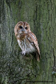 (via 500px / Tawny Owl by Michael Vickers)