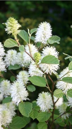 Mountain witch-alder (Fothergilla major) - a compact medium-sized deciduous shrub to 2m, with glossy, broadly oval leaves glaucous beneath and turning brilliant red and orange in autumn. Flowers small, white, in short spikes before or with the leaves