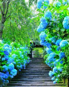 ":""Hydrangea, Meigetsuin, Kamakura, Japan by Beautiful Roads, Most Beautiful Gardens, Beautiful Landscapes, Flowers Nature, Beautiful Flowers, Nature Landscape, Hydrangea Garden, Kamakura, Dream Garden"