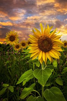 Sunflower Dusk Poster by Debra and Dave Vanderlaan - blumen - Sunflower Garden, Sunflower Art, Sunflower Fields, Sunflowers And Daisies, Beautiful Flowers, Sun Flowers, Images Of Sunflowers, Growing Sunflowers, Sunflowers Background