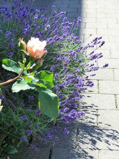 Caramella mit Lavendel