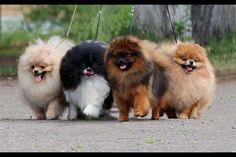 Pomeranian stampede