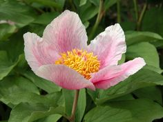 Paeonia mascula (Wild Peony) l rare, protected wildflower, Israel