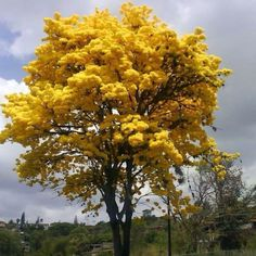 Venezuela's national tree Araguaney.