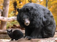 It's not clear why this stray black cat turned up in the bear enclosure at the Berlin Zoo, but she's been coming back for 10 years to see her friend, the oldest known female Asiatic bear. Love is love :)