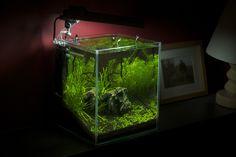 I love how green this is! #AquariumAdventure #nanotank #plantednano