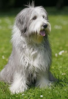 Bearded collie photo | Bearded Collie im Natur Lexikon