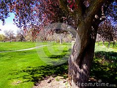 Gnarled crab apple tree in a park in Boise, Idaho. ©Photo copyright by Marty Nelson. Photographer website:  http://www.dreamstime.com/uploads