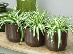Le chlorophytum : une plante dépolluante - F.New to growing plants and no idea what you should grow indoors? Learn about these 15 Best Houseplants for Beginners.Bringing indoor plants into your home will create a nurturing and stylish environment an House Plants Decor, Plant Decor, Garden Web, Garden Design, Airplane Plant, Plantas Indoor, Chlorophytum, Ficus Elastica, Pot Jardin