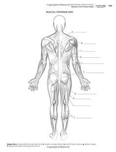Esquema del sistema muscular humano. Sin los nombres de