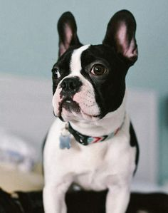 Rigby the Boston Terrier Mix