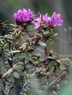Lapinalppiruusu, Rhododendron lapponicum -  Lapland Rhododendron -  Kukkakasvit - LuontoPortti