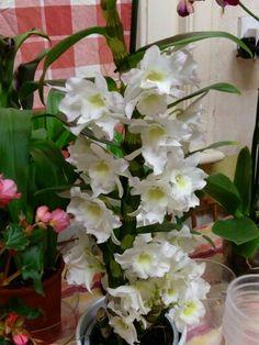 Dendrobium nobile orchid.