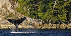 Vancouver Island :  Tofino,  Clayoquot Sound, Beaches, Chesterman Beach, Wildlife, Whale watching, Pacific Rim National Park, Canada