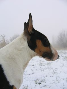 ATTS), a not-for-profit organization that promotes uniform temperament testing for dog breeds, gives the Bull Terrier a pass rate of 91. Description from 321dogs.com. I searched for this on bing.com/images