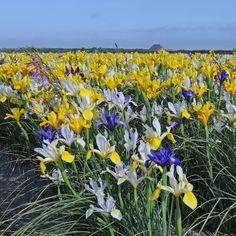 Ein Feld voller Iris im Blumenzwiebelanbaugebiet in Nord-Holland - geteilt von Carlos van der Veek von www.fluwel.de