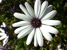 pic I took of husband's african daisy he planted - reminds me of my mama!