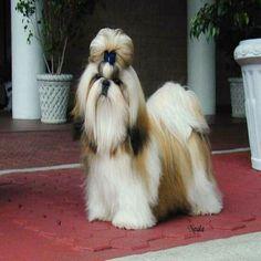 shih tzu | Shih Tzu Purebred Puppy