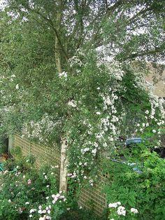 Rambling Rector rose in silver birch Garden Inspiration, Garden Ideas, Country Living, Birch, Garden Design, Gardening, Rose, Plants, Silver