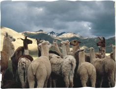 Alpaca Fiber - Product Information - About PC