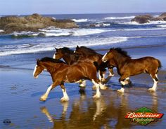 Clydesdales on the beach. Now that is something you don't see everyday! Gorgeous horses!