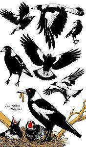 "Australian Designed ""Australian Magpie"" Cotton Tea Towel - Striking Design Magpie Tattoo, What Is A Bird, Bird Artwork, Australian Animals, Graphic Design Illustration, Bird Illustration, Illustrations, Bird Drawings, Glass Birds"