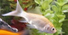 white common goldfish | It is also common for black goldfish to turn orange. All my comet ...
