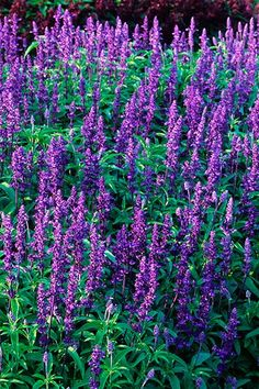 grouping of victoria Sage with purple flowers Purple Flowers, Salvia, Pretty Plants, Tiny White Flowers, Plants, Salvia Garden, Grasses Landscaping, Perennials, Street Trees